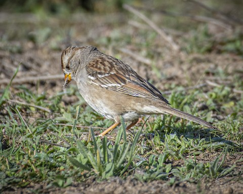 White-crowned Sparrow - James Kendall