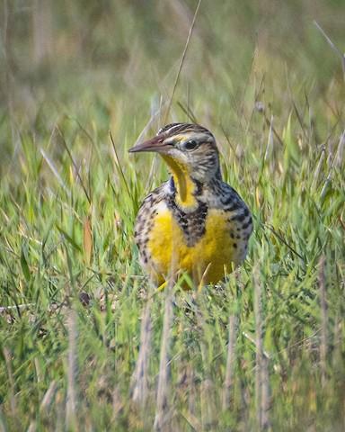 Western Meadowlark - James Kendall