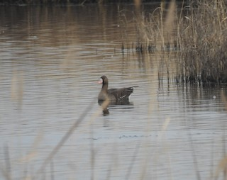 Greater White-fronted Goose, ML311603551