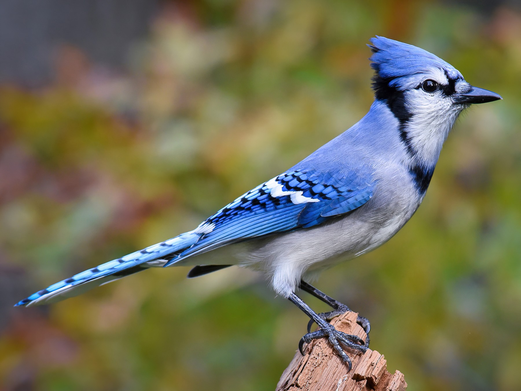 Blue Jay - Scott Martin