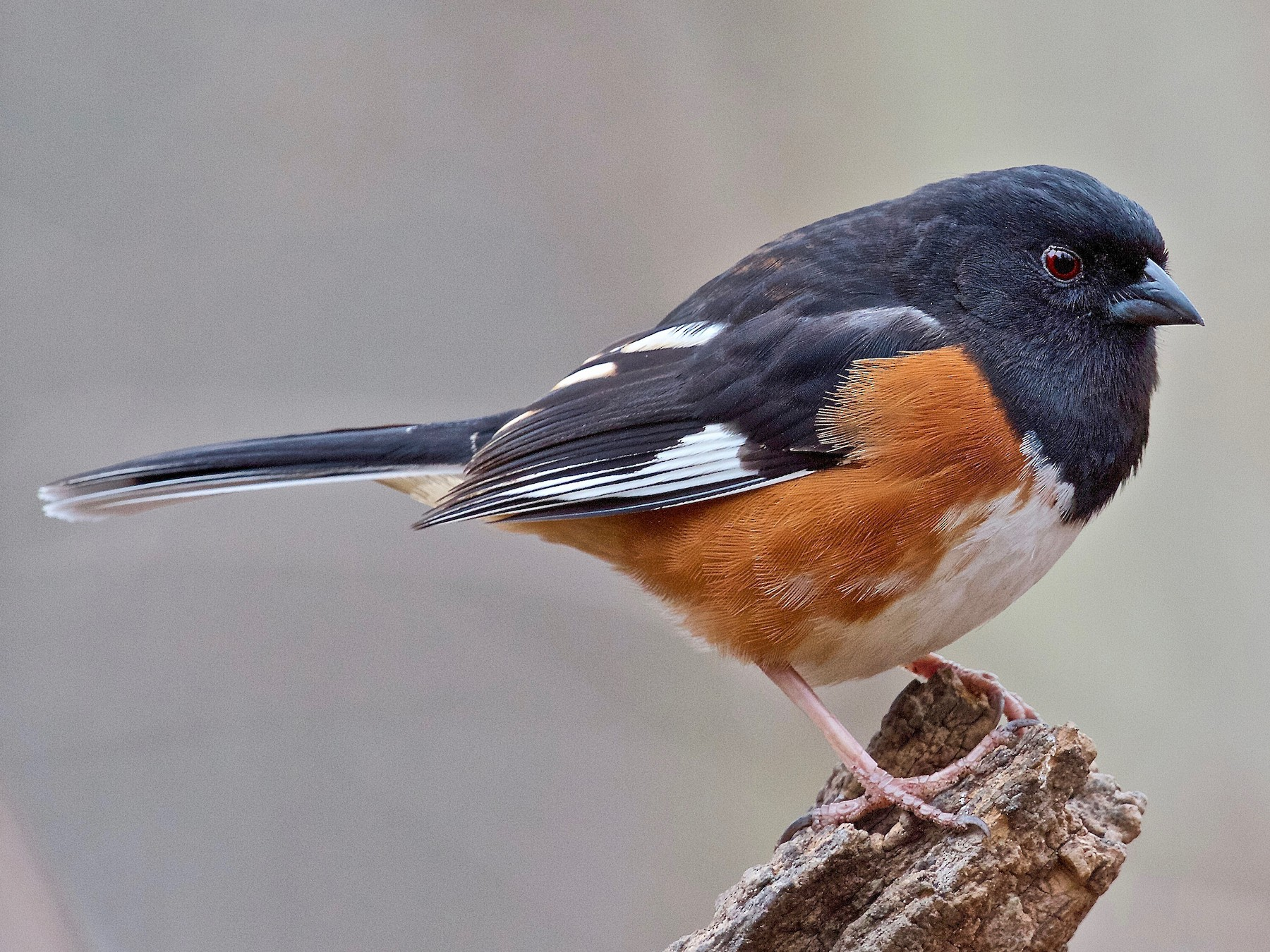 Eastern Towhee - Jack & Holly Bartholmai