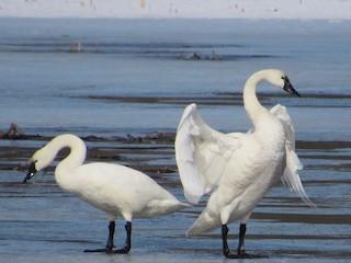 Tundra Swan, ML311683871
