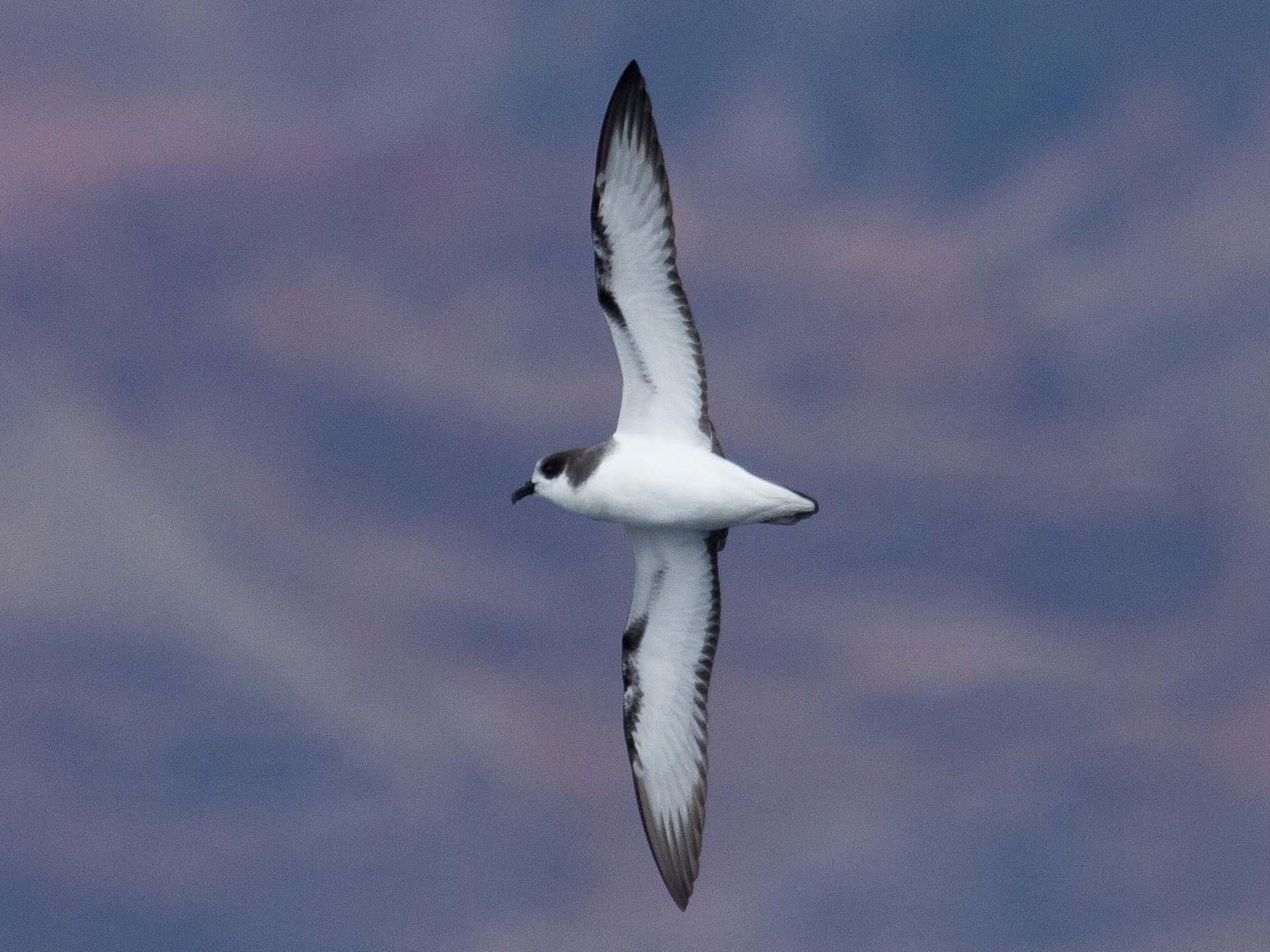 Stejneger's Petrel - Fernando Díaz (Albatross Birding Chile)