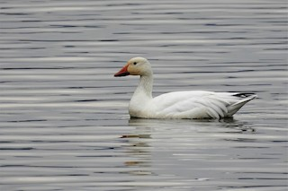 Snow Goose, ML311710991