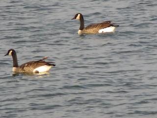 Canada Goose, ML311749861