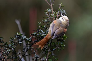 - Creamy-crested Spinetail