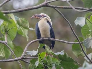 - Samar Hornbill