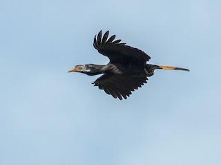 - Mindanao Hornbill