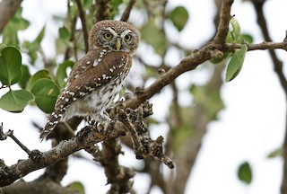 - Pearl-spotted Owlet
