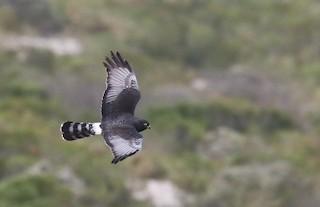 - Black Harrier