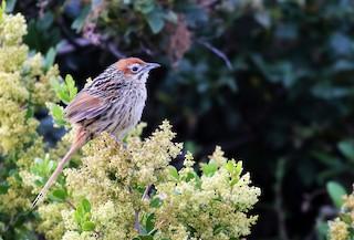 - Cape Grassbird