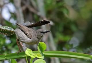- Gray Wren-Warbler