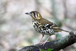 - Spotted Ground-Thrush (Spotted)