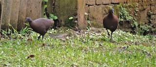 Brown Tinamou, ML311994601