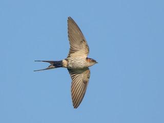 - Striated Swallow