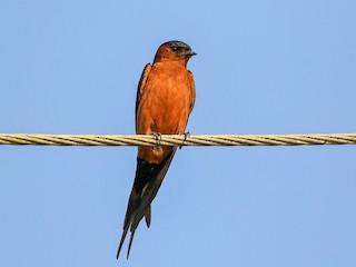 - Rufous-bellied Swallow
