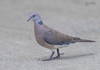 Philippine Collared-Dove, ML312189231
