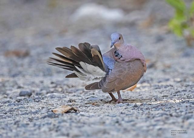 Philippine Collared-Dove