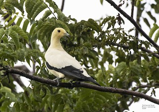 Pied Imperial-Pigeon, ML312189551
