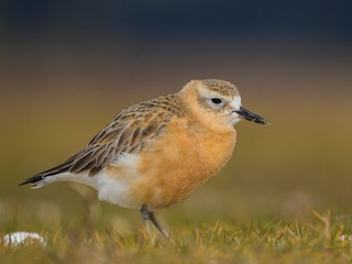 - Red-breasted Dotterel
