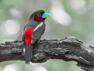 - Black-and-red Broadbill