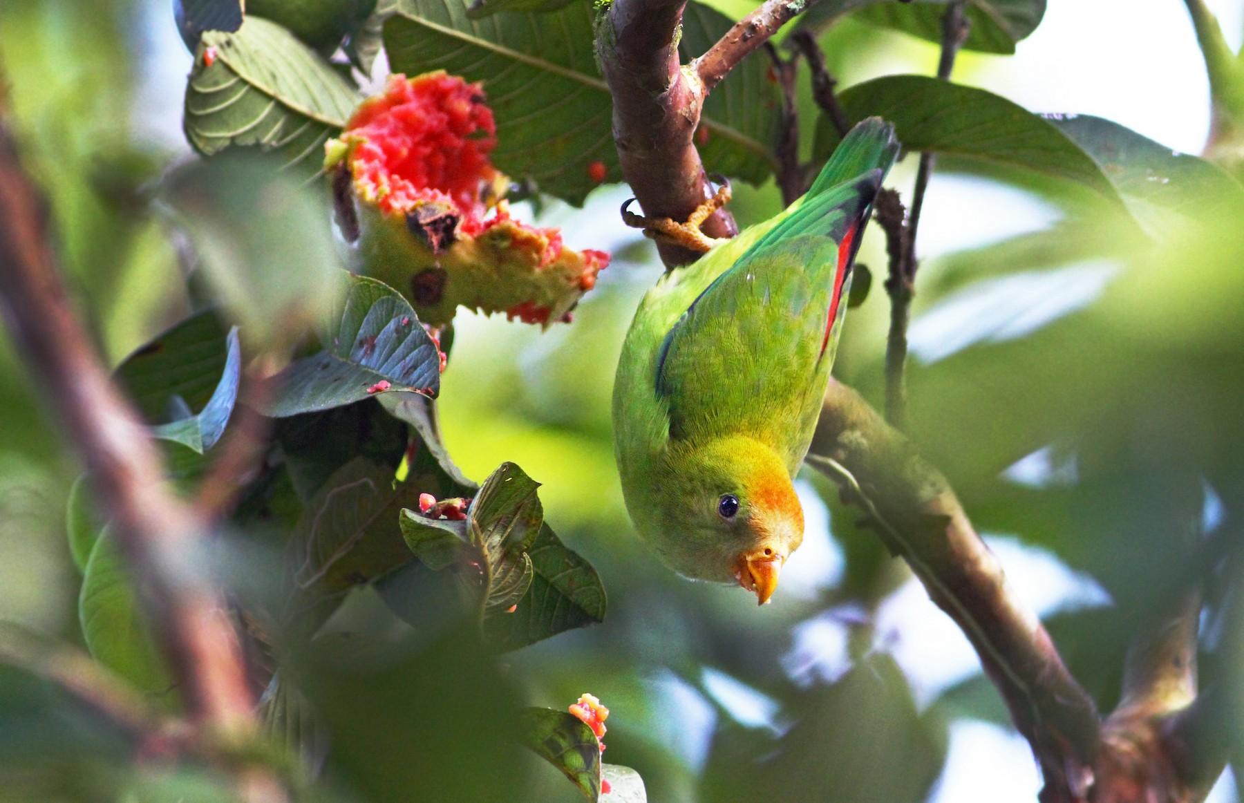 Sri Lanka Hanging-Parrot - Andrew Spencer