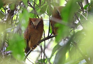 - Serendib Scops-Owl