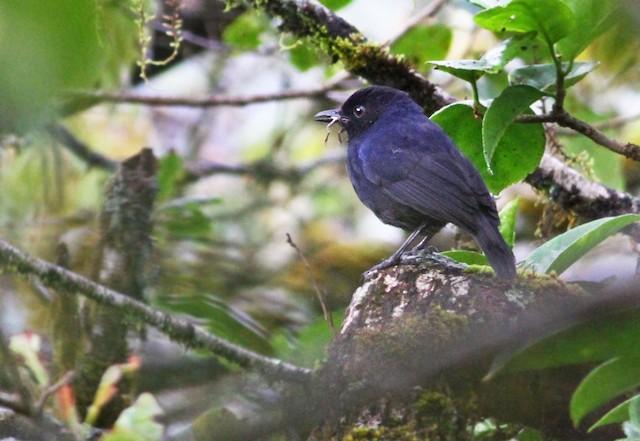 Sri Lanka Whistling-Thrush