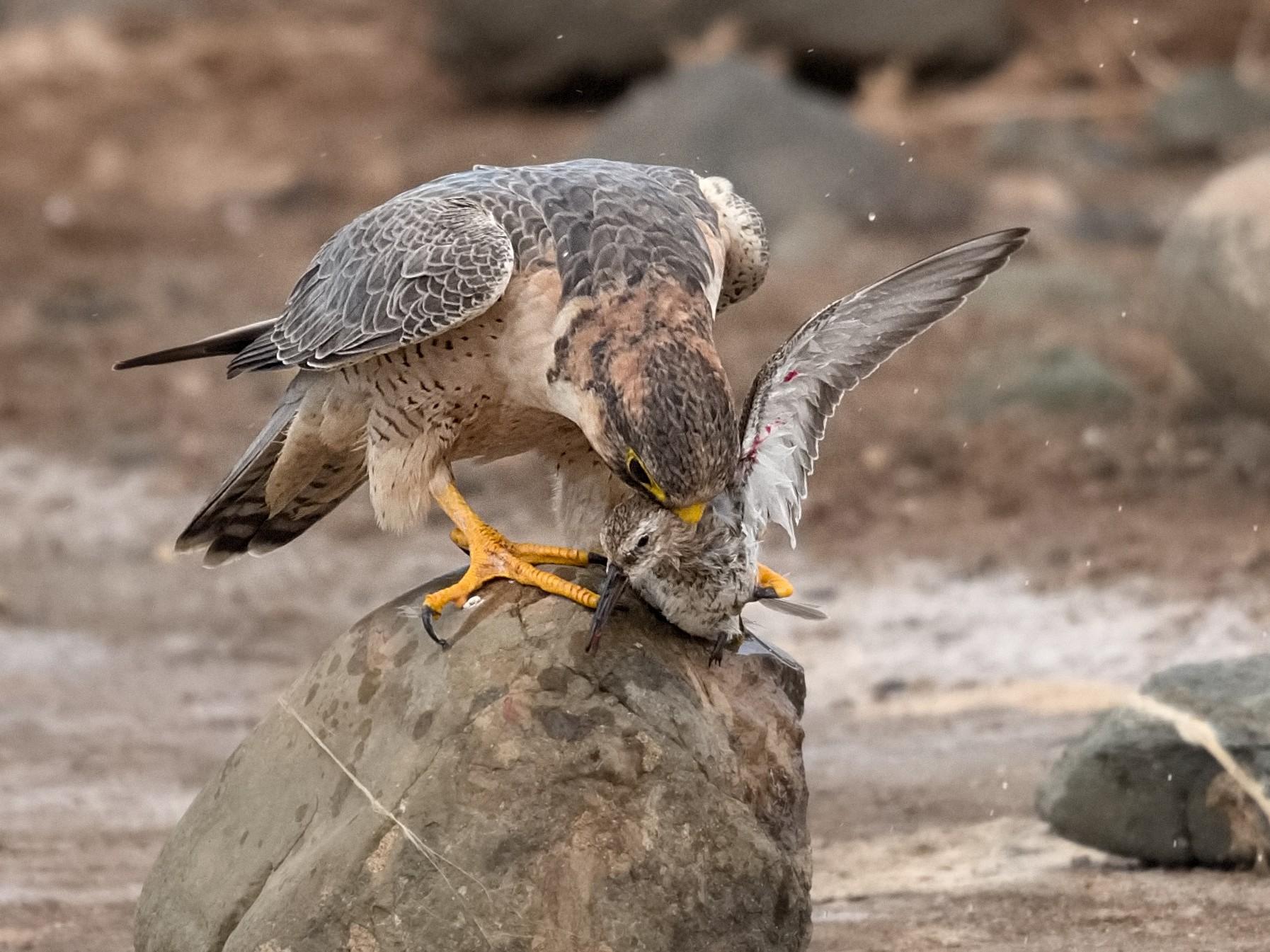 Peregrine Falcon - Luis Alberto rodriguez sanchez