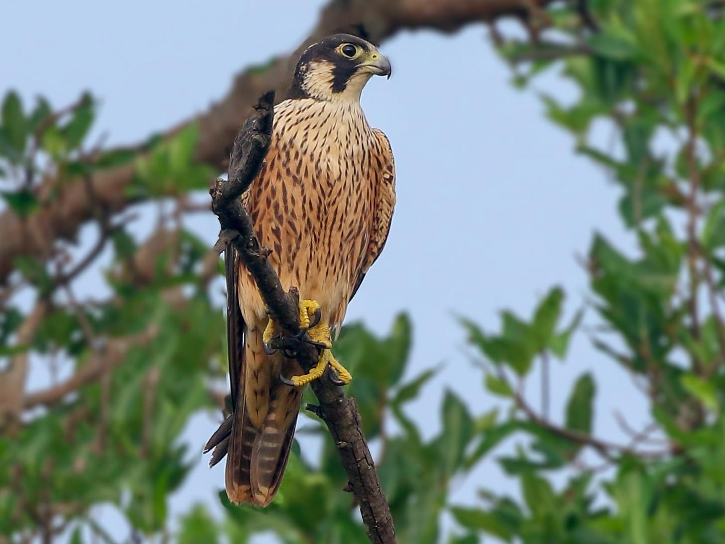 Peregrine Falcon - Rahul  Singh