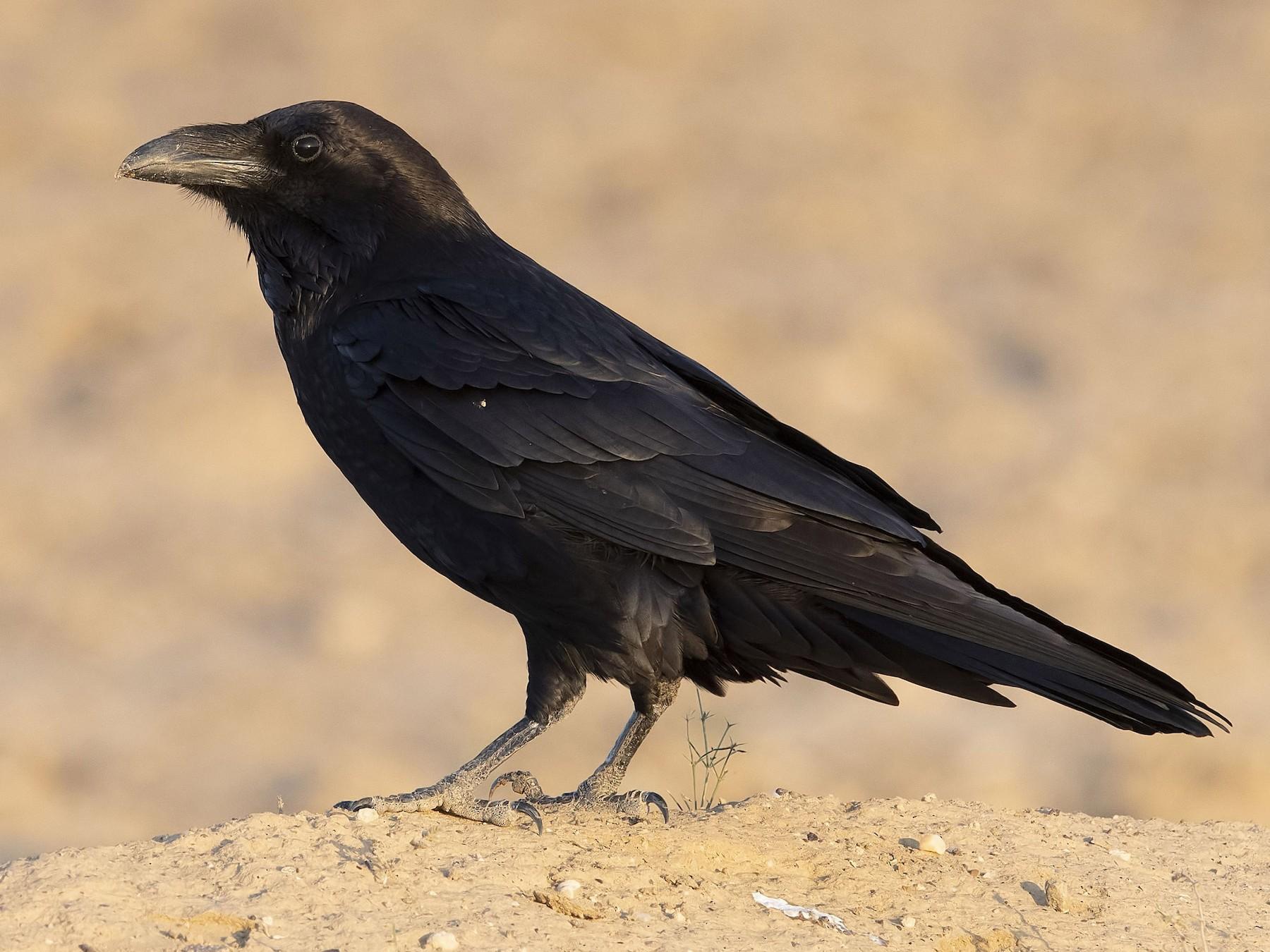Common Raven - Prabhakar Manjunath