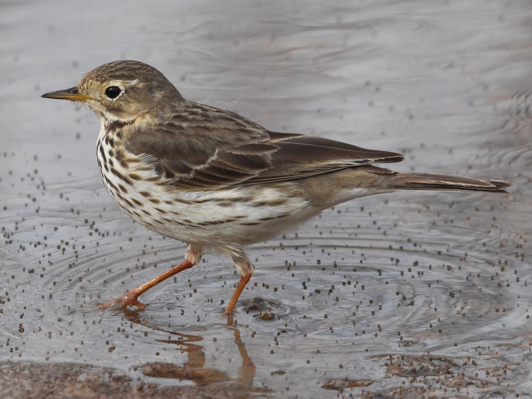 American Pipit - Giora Leitner