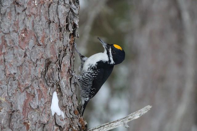 ©Sam Lievense - Black-backed Woodpecker