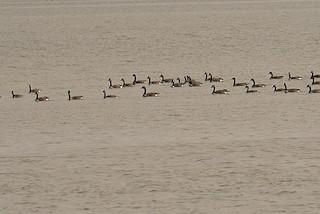Canada Goose, ML312761151