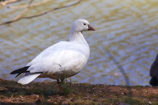 Ross's Goose, ML312854211