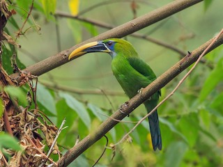 - Groove-billed Toucanet (Yellow-billed)