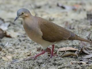 - Gray-headed Dove