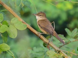 - Clamorous Reed Warbler