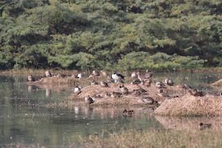Knob-billed Duck, ML313062451