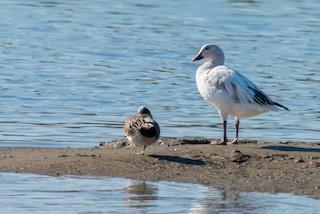 Snow Goose, ML313137811