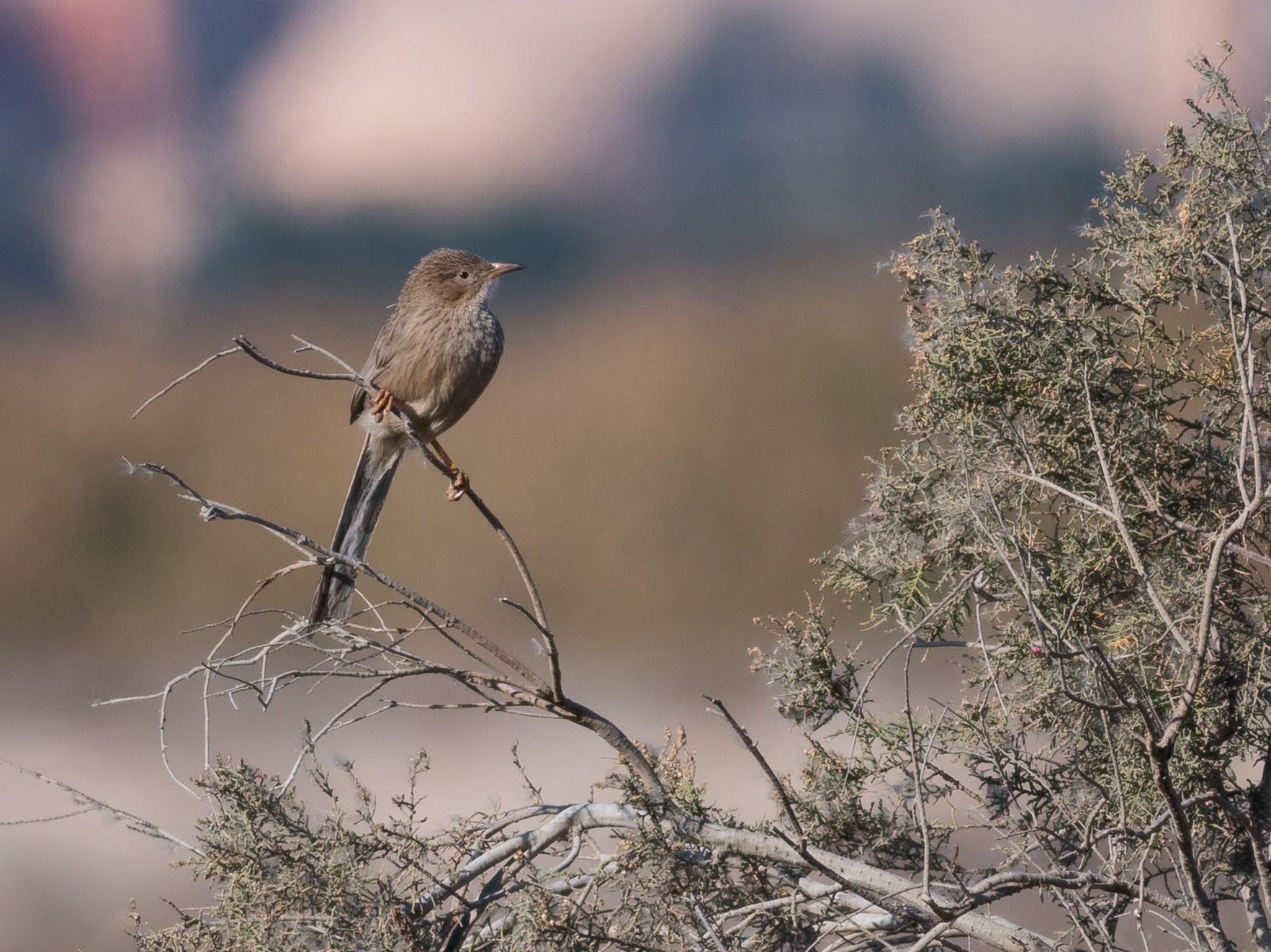 Afghan Babbler - Markus Craig
