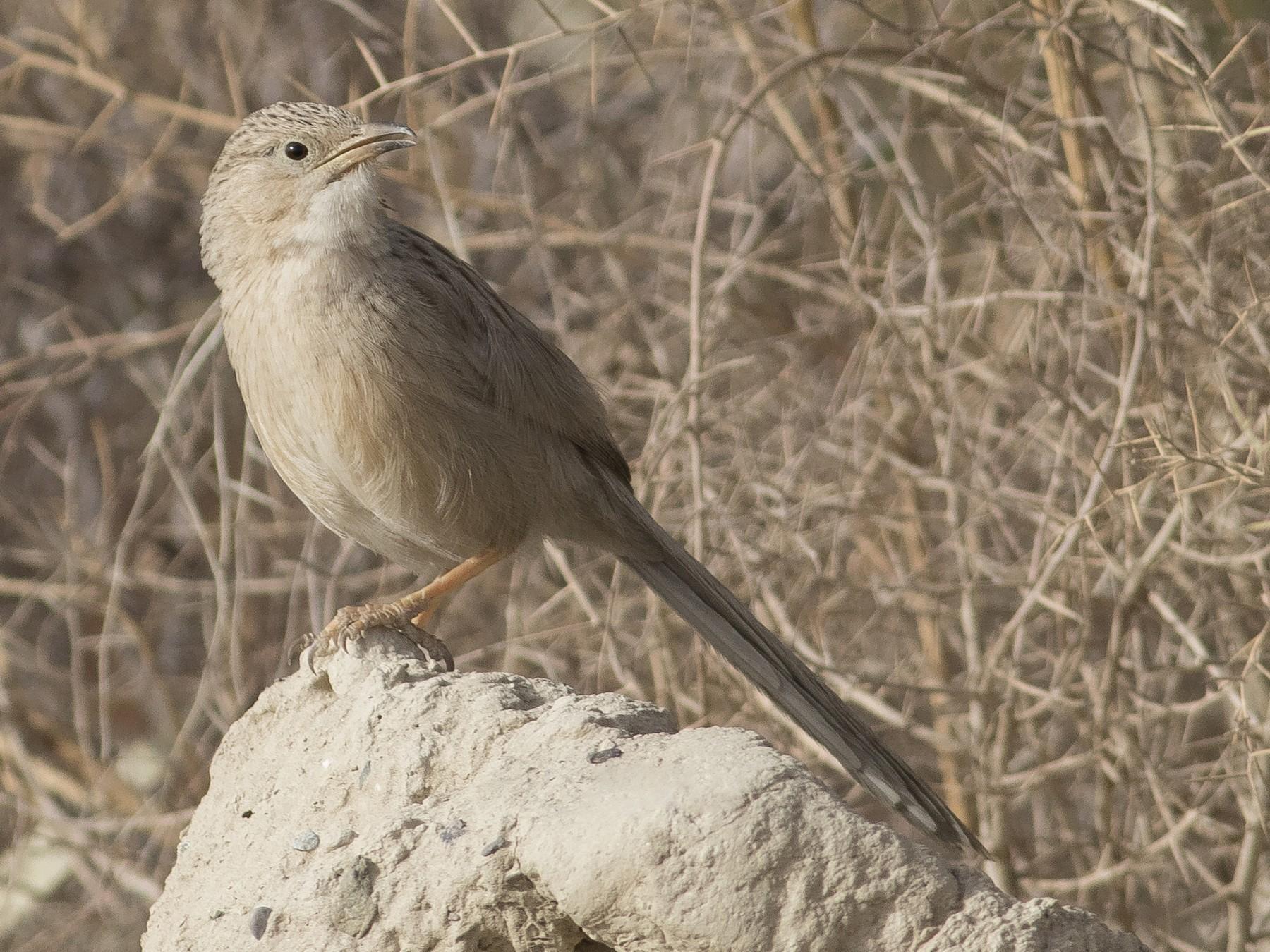 Afghan Babbler - SeyedHamed Mousavi