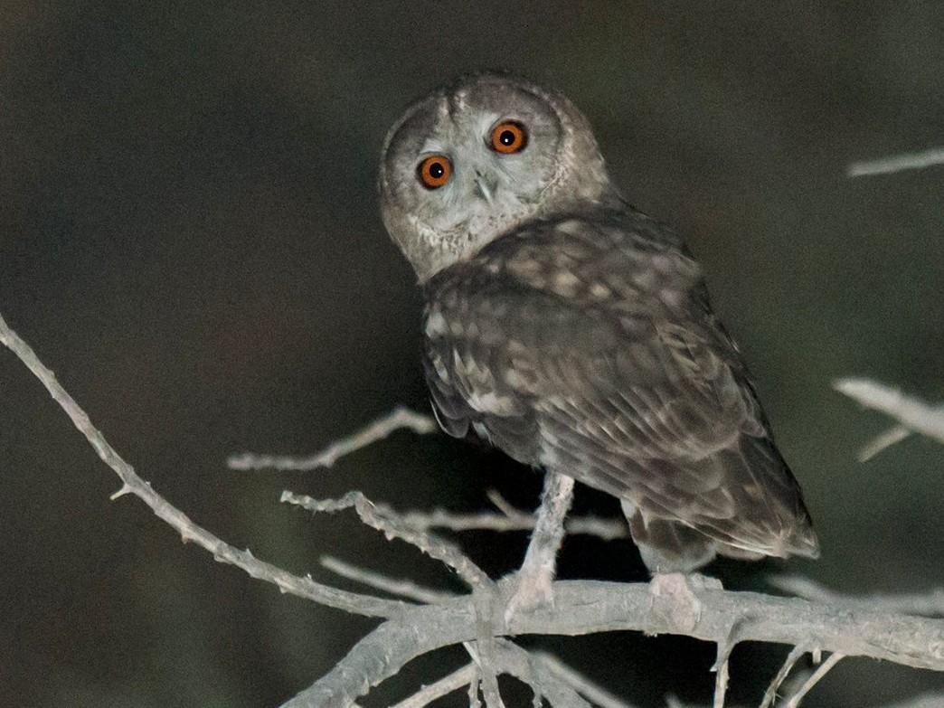 Omani Owl - Arnoud B. van den Berg