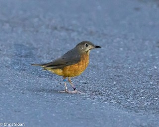 - Everett's Thrush