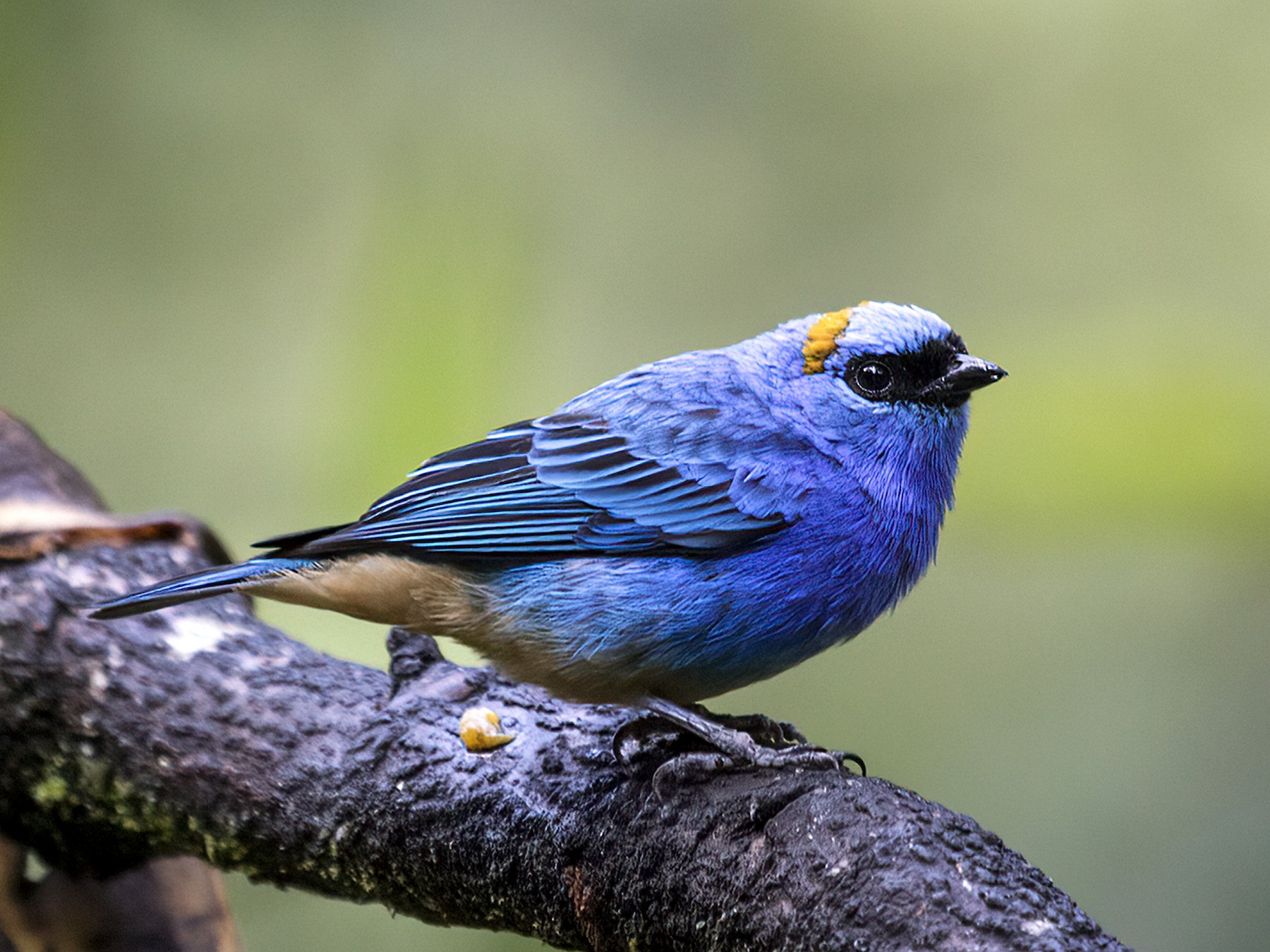 Golden-naped Tanager - Nick Athanas