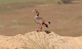 Egyptian Goose, ML313316891