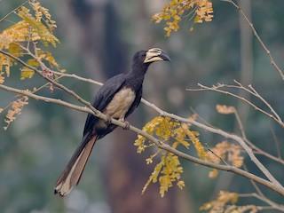 - African Pied Hornbill (Western)