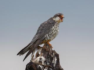 - Amur Falcon