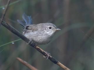 - Swamp Grass Babbler