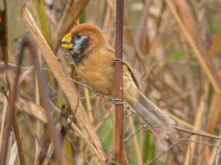 - Black-breasted Parrotbill